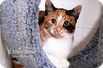 Calico Cat for adoption in Sterling Heights, Michigan - Meadow