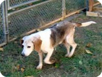 Beagle Mix Dog for adoption in Dumfries, Virginia - Weaver