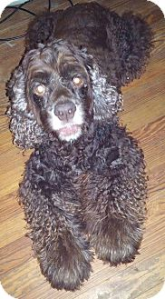 Cocker Spaniel Dog for adoption in Cape Coral, Florida - Bogey