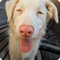 Adopt A Pet :: Greyjoy - Henderson, NV