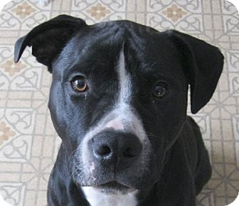 American Staffordshire Terrier/American Pit Bull Terrier Mix Dog for adoption in kennebunkport, Maine - Beau - Courtesy Post, in Maine