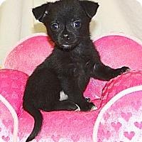 Adopt A Pet :: *Itty Bitty Ivy - PENDING - Westport, CT