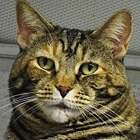 Adopt A Pet :: Tiger - Huntley, IL