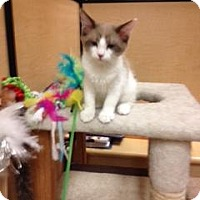 Adopt A Pet :: Lacey-PetsMart Kitty - Scottsdale, AZ