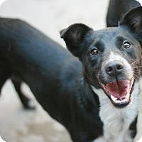 Adopt A Pet :: Nosh - Canoga Park, CA