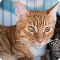 Adopt A Pet :: Ginger Roo - Woodland, CA