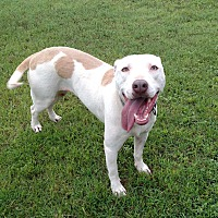 American Pit Bull Terrier/Labrador Retriever Mix Dog for adoption in Tuscola, Texas - Ginger