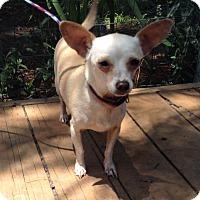 Adopt A Pet :: Bogart (6 Ibs.) - Santa Ana, CA