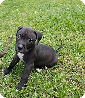American Pit Bull Terrier Mix Puppy for adoption in Jacksonville, Florida - Donovan McNabb