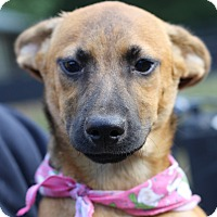 German Shepherd Dog Mix Puppy for adoption in West Grove, Pennsylvania - Tootsie