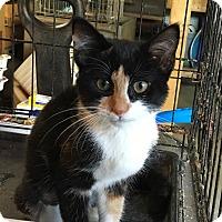 Calico Kitten for adoption in Berkley, Michigan - Ellie