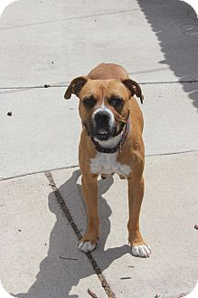 Boxer Mix Dog for adoption in Denver, Colorado - Birdie- FOSTER OR ADOPT!
