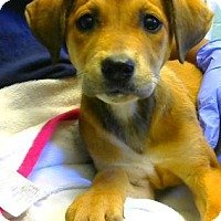 Shepherd (Unknown Type) Mix Puppy for adoption in Decatur, Georgia - Giggles - Adopted