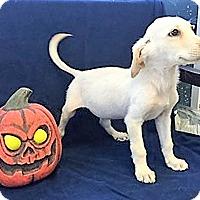 Adopt A Pet :: Pumpkin - BIRMINGHAM, AL