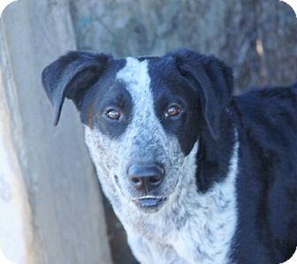 Border Collie/Australian Cattle Dog Mix Dog for adoption in Liberty Center, Ohio - Tattoo