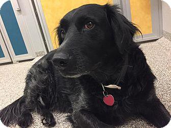 Border Collie Mix Dog for adoption in Gunnison, Colorado - Bailey