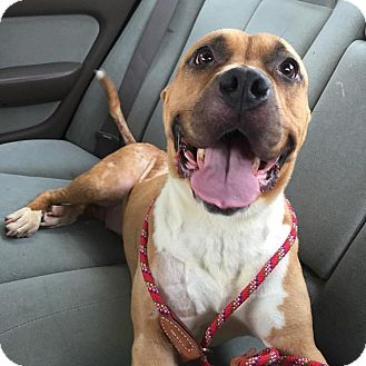 American Pit Bull Terrier/American Staffordshire Terrier Mix Dog for adoption in Lowell, Indiana - Sandy