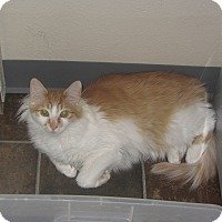 Domestic Mediumhair Cat for adoption in Ridgway, Colorado - Lucille