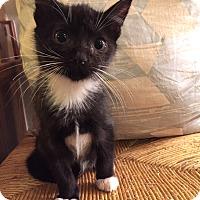 Adopt A Pet :: Boulder - Addison, IL