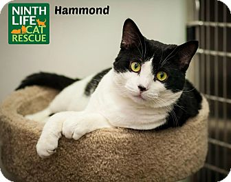 Domestic Shorthair Cat for adoption in Oakville, Ontario - Hammond