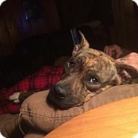 Adopt A Pet :: Piper - Chambersburg, PA