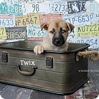 Adopt A Pet :: Twix - Denver, CO