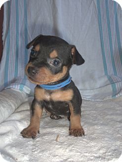 Miniature Pinscher/Rat Terrier Mix Puppy for adoption in Carrollton, Georgia - Oz