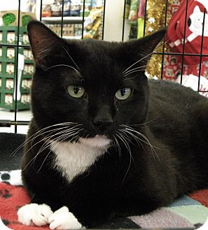 Domestic Shorthair Cat for adoption in Medford, Massachusetts - Spot