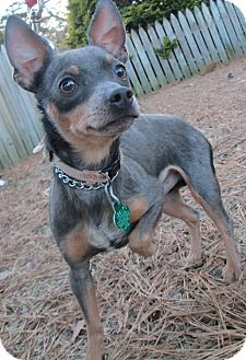 Chihuahua Mix Dog for adoption in Forked River, New Jersey - Steve
