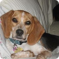 Adopt A Pet :: Marsha - Novi, MI