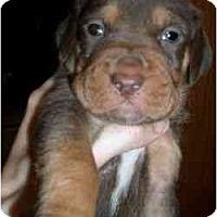 Adopt A Pet :: Dudley - Novi, MI