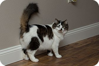 Domestic Mediumhair Cat for adoption in Anchorage, Alaska - Dan