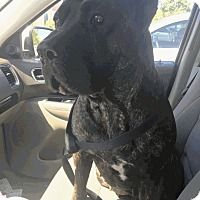 Adopt A Pet :: Bayleigh - Las Vegas, NV