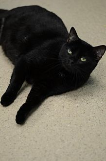 Domestic Shorthair Cat for adoption in Atlanta, Georgia - Jimmy Carter	 151285