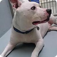 Adopt A Pet :: Pirate - Chico, CA