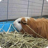 Adopt A Pet :: *Urgent* Ruby - Fullerton, CA
