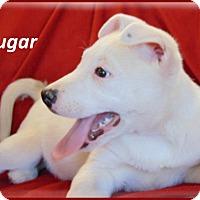 Adopt A Pet :: Sugar-Adoption Pending - Marlborough, MA