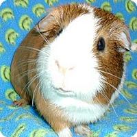 Adopt A Pet :: Rocky - Steger, IL