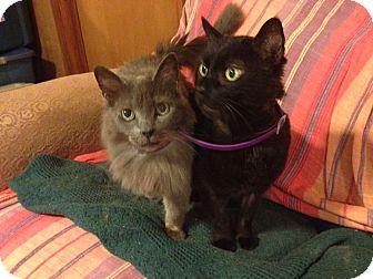 Domestic Mediumhair Cat for adoption in Hartwell, Georgia - Smokey