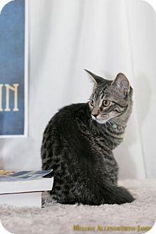 Domestic Shorthair Kitten for adoption in Fayetteville, Arkansas - Rosalind Franklin