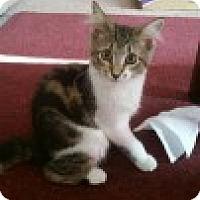 Adopt A Pet :: Pepsi - McHenry, IL