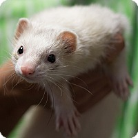 Ferret for adoption in Balch Springs, Texas - Wolfee