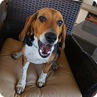 Adopt A Pet :: Duke - Concord, CA
