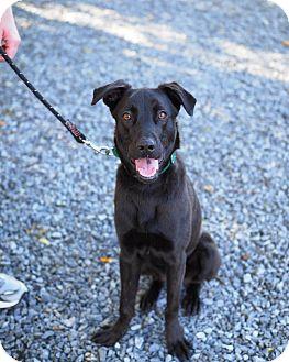 Labrador Retriever Mix Puppy for adoption in Whitehall, Pennsylvania - Jack Skellington