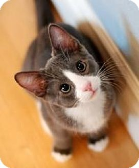 Domestic Shorthair Kitten for adoption in San Carlos, California - Tate