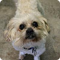 Adopt A Pet :: Ringo - Dunkirk, NY