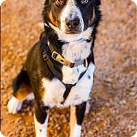 Adopt A Pet :: Chaz - Albuquerque, NM