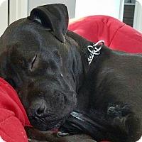 Adopt A Pet :: Kibbles - Springfield, MA