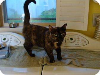 Domestic Shorthair Cat for adoption in Spotsylvania, Virginia - Olivia