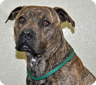Pit Bull Terrier Mix Dog for adoption in Port Washington, New York - Dallas